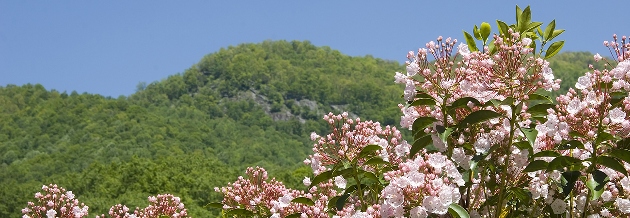 mountain laurel state flower