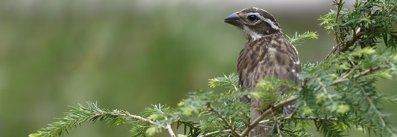 ruffed grouse pennsylvania state bird